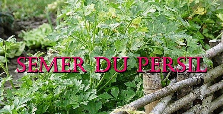 semer du persil